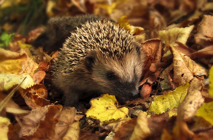 Canva - Brown and Black Hedgehog Standing on Brown Dry Leaved